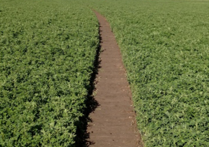 Wide Irrigation path